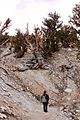 The partner watching the death bristlecone pine tree - Flickr - daveynin.jpg