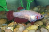 The same betta female showing the white ovipositor tube when she got full mature state.jpg