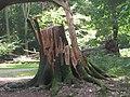 The shattered stump of the fallen beech tree - geograph.org.uk - 1480202.jpg