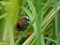 Thick-billed Weaver (Amblyospiza albifrons) male (12929659395).jpg