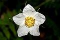 Thimbleberry flower (Rubus parviflorus).jpg