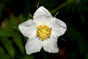 Rubus parviflorus - Thimbleberry flower