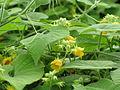 Thladiantha nudiflora - Talence - 201007 (3).jpg