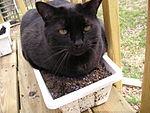 Thunder (black cat).jpg