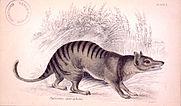 thylacinus cynocephalus jardine