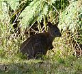 Thylogale thetis. Red-necked Pademelon - Flickr - gailhampshire.jpg