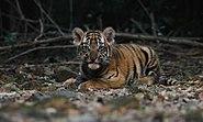 Tiger baby