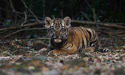 Tiger baby.jpg