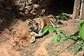 Tigre Zoo-Botânica de BH.jpg