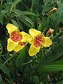 Tigridia pavonia yellow (20983554085).jpg