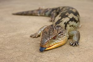 Blue-tongued skink - Blotched blue-tongued skink (Tiliqua nigrolutea)