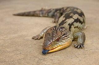 Blue-tongued skink genus of reptiles