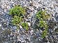 Tillaea aquatica + Centunculus minimus sl1.jpg