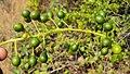 Tinospora cordifolia fruits 02.JPG
