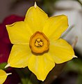 Tiny daffodil (4095416269).jpg