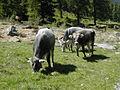 Tiroler Grauvieh01.jpg