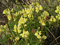 Toadflax, Romney Sands - geograph.org.uk - 238837.jpg