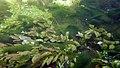 Touffes d'algues vertes filamenteuses dans Les Baillons aout2017 a 07.jpg