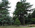 Towering trees of St. John the Baptist churchyard - geograph.org.uk - 486705.jpg