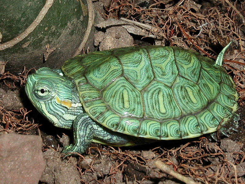 Red Eared Slider Hatchling