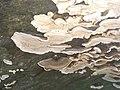 Trametes versicolor 111342378.jpg