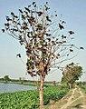Tree (Tectona grandis) I IMG 6081.jpg