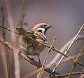 Tree sparrow (39280875710).jpg