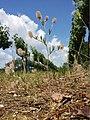 Trifolium arvense (subsp. arvense) sl10.jpg