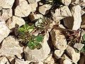 Trifolium scabrum sl4.jpg