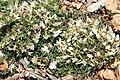 Trifolium uniflorum pm.jpg