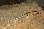 Tsingy plated lizard (Zonosaurus tsingy) Ankarana.jpg