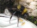 Tuinhommel op vingerhoedskruid (Bombus hortorum on Digitalis purpurea) (2).jpg