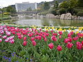 Tulip (121).JPG