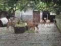 Tunchang Deers.JPG