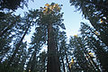 Tuolumne Grove Trailhead 07 (4244796401).jpg