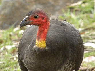 Megapode - Brushturkeys can often be found in parks or gardens.