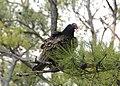 Turkey Vulture (3763676731).jpg
