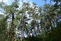 Turkish pine trees, Canyon Kapıkaya 06.jpg