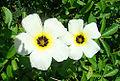 Turnera subulata, known as White Alder (11256902156).jpg