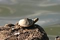 Turtle On Rock.jpg
