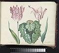 Twee tulpen met schelp en groot blad P. Schilter Kamuseta (titel op object), RP-T-1950-266-36-2.jpg