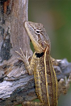 Two-lined Dragon (Diporiphora bilineata) (9855294934).jpg