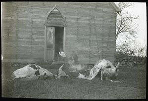 Angata - Carcasses of dead cattle in front of a house at Hanga Roa, 1914