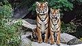 Two orange tigers-814898.jpg
