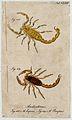 Two scorpions; Androctonus eupeus and Androctonus panopeus. Wellcome V0022411ER.jpg