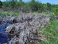 Typha latifolia, Sault Ste Marie.JPG