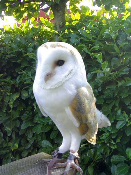 Afbeelding:Tyto Alba barnowl kerkuil.jpg