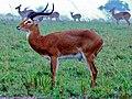 Uganda Kobs (Kobus thomasi) (7080502317).jpg