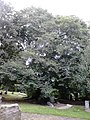 Ulmus glabra (smooth dark green very asymmetrical leaves). North Merchiston Cemetery, Edinburgh (3).jpg