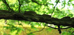 Ulmus thomasii - Image: Ulmus thomasii (meisse) corky wings
